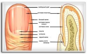 Схема устройства ногтя